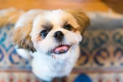 犬との記念写真なら口コミで広まっている出張撮影タイプの写真スタジオ「ペットショット」にお任せdog-photo-0110