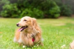 犬との記念撮影・出張撮影ならペットショットdog010-003